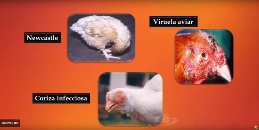 vacunas gallinas ponedoras