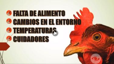 estres en las gallinas