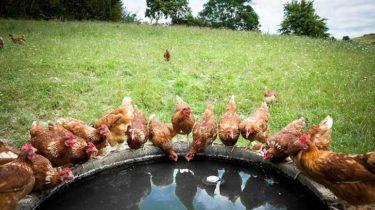 agua gallinas