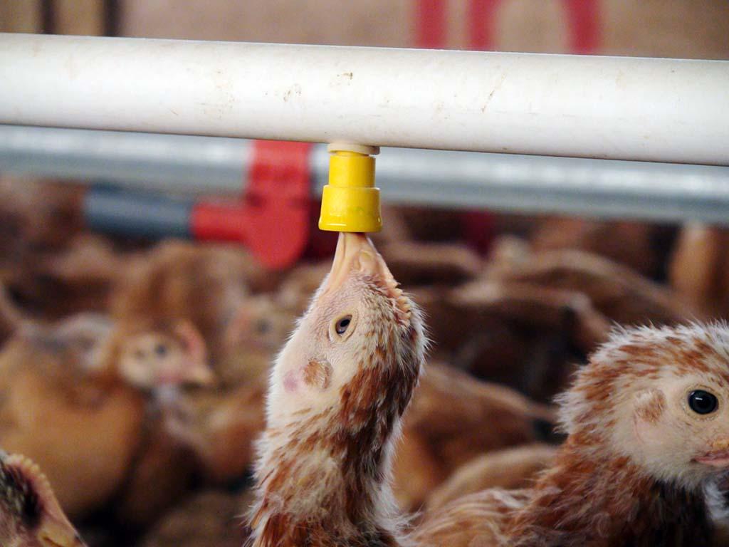 El estrés térmico en las gallinas ponedoras