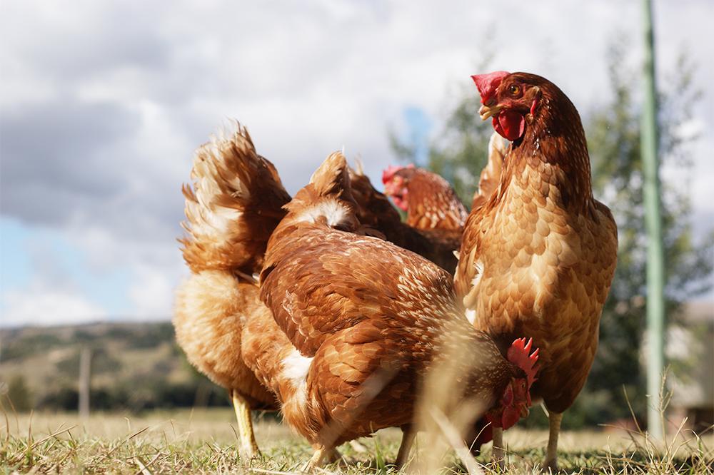 ¿ Gallinas ponedoras de huevos ecológicos?