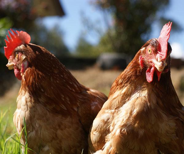 gallinas suesca 3