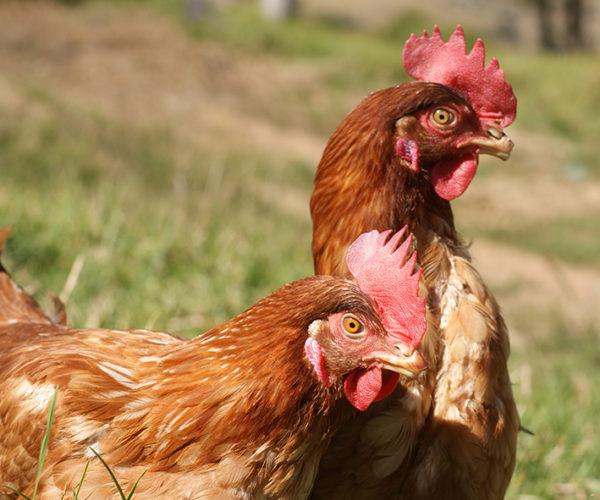 gallinas suesca 4
