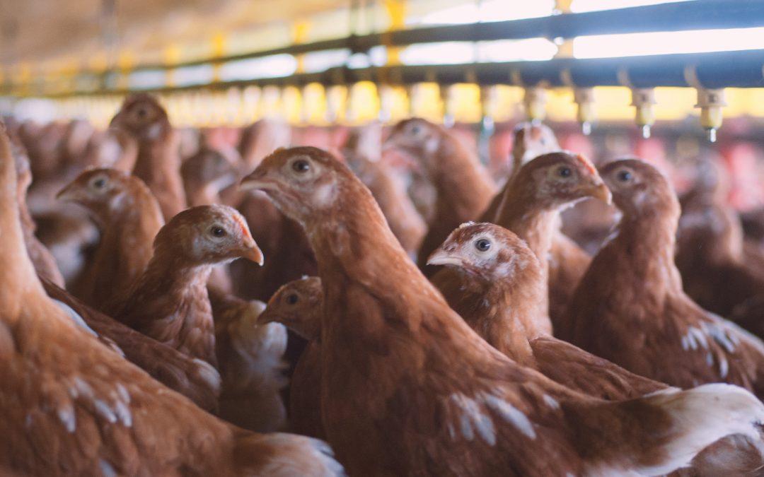 ¡GALPONES! Elementos para una producción avicola